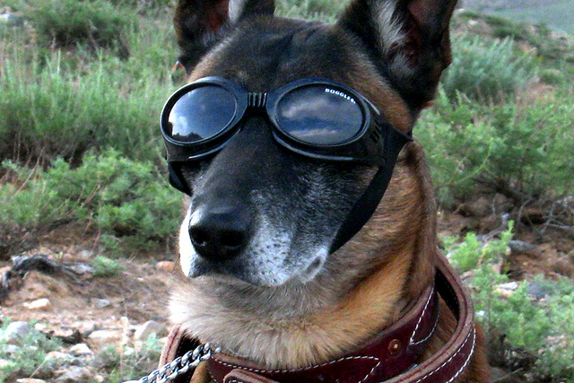 Doggles for military working dog by U.S.Army