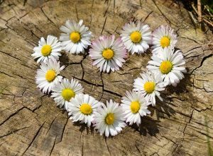 daisies-in-the-shape-of-a-heart
