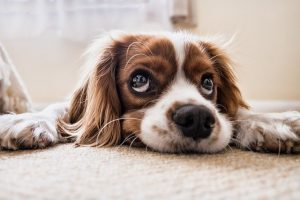 cocker-spaniel-lying-down-with-big-eyes-looking-up