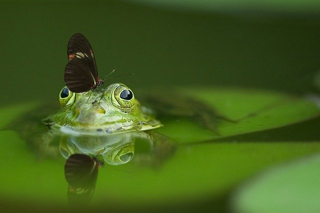 green-frog-swimming-in-green-pond -with-butterfly-on-head